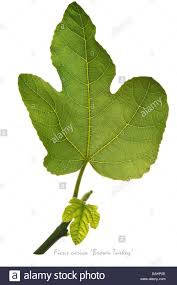 fig ficus carica u0027brown turkey u0027 leaves on the white background