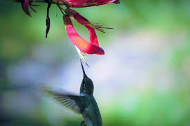 Hummingbird Flowers Hummingbird Flowers Wings Fly Bird Wallpaper Hd Image Picture