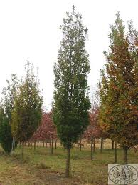 winter hill tree farm cypress oak quercus robur fastigiata