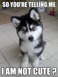 Cute Puppy Meme - so you re telling me i am not cute skeptical husky puppy