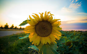 sunflower backgrounds pictures group 36