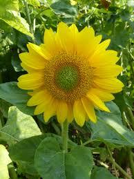 single sun flower wallpapers helianthus annuus u0027summer breeze u0027 single stem sunflower with