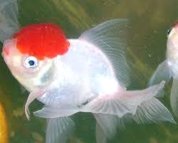 oranda goldfish modern farming methods