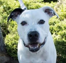 american pitbull terrier dalmatian mix pet of the week friends of the animal shelter
