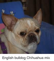 Meme Definition English - english bulldog chihuahua mix chihuahua meme on me me