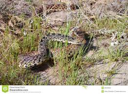 gopher snake pituophis catenifer royalty free stock photos