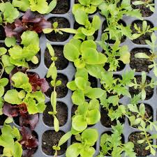 roll out vegetable garden vegetable plug plants how to grow healthy vegetable seedlings