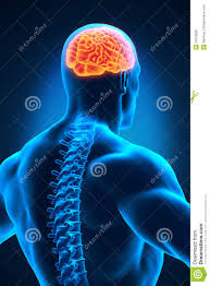 3d Head Anatomy Spinal Cord And Brain Anatomy Stock Image Image 30729281