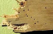Powder Post Beetles In Hardwood Floors - wood boring beetles