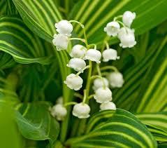 of the valley flower convallaria majalis albostriata of the valley white