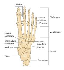 foot bone chart free left and right foot bones coloring pages
