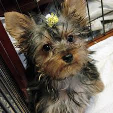yorkie haircuts pictures only cute yorkie haircuts yorkshireterrier xyz