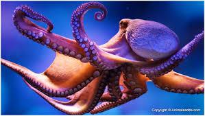 octopus facts pictures behavior habitat diet appearance