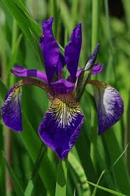 Purple Lily Flower Free Photo Tiger Lily Lily Flower Spring Nature Max Pixel