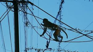 ब दर monkey jump and walk on electric wires bandar ka tamasha