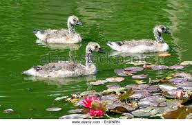 geese stock photos geese stock images alamy