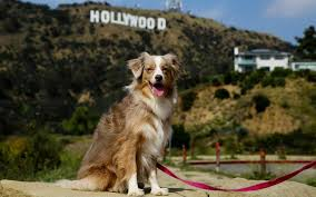 australian shepherd los angeles 7 fun things to do with your dog in los angeles american kennel club