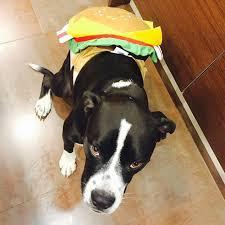 Chihuahua Halloween Costumes Miley Cyrus U0027s Dogs Halloween Costumes Popsugar Pets