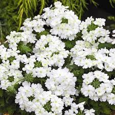 verbena flower verbena tuscany white verbena annual flower seeds hanging