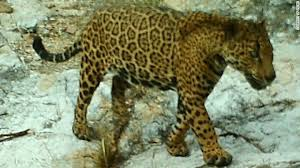Arizona Wildlife images Arizona 39 s elusive wild jaguar leads intriguing life cnn jpg