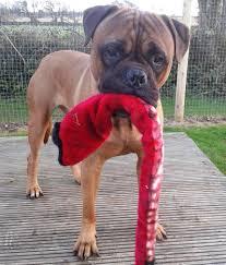 1 year old boxer dog cheeko u2013 7 year old male boxer dog for adoption