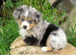 australian shepherd dog puppies wa breeder toy mini australian shepherd puppies