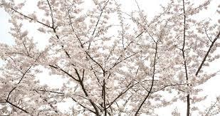 Flowering Cherry Shrub - prunus yedoensis u0027somei yoshino u0027 yoshino cherry