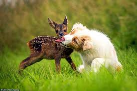 australian shepherd 4 weeks old australian shepherd puppy adopts orphaned fawn