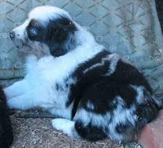 double j ranch australian shepherds american stock dog registry american stock dog registry