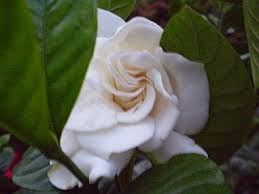 plants are the strangest people messenger of god gardenia