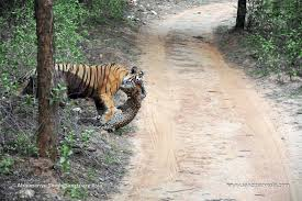 anecdotal aardvark a tigress at ranthambore dragging a leopard kill