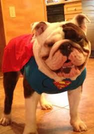 English Bulldog Halloween Costumes 32 Doggy Howloween Costumes Images English