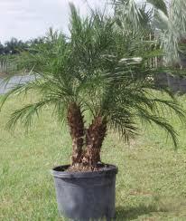 indoor palm san diego wholesale palm trees encinitas outdoor u0026 indoor palms