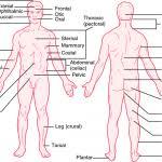 Human Anatomy Anterior Human Anatomy Blausen Organs Woman Muscle Bones Male Body Labels