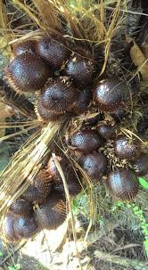 Snake Fruit Tree - health benefits of salak snake fruit for beauty and your body