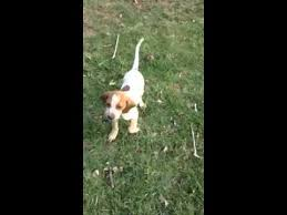 bluetick coonhound uk breeders english coonhound puppies for sale from reputable dog breeders