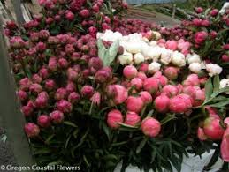 wholesale peonies wholesale white peonies oregon coastal flowers