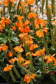 orange marmalade firecracker flower monrovia orange marmalade