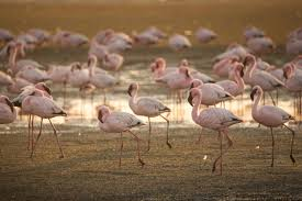 interesting facts about flamingos that u0027ll take your breath away