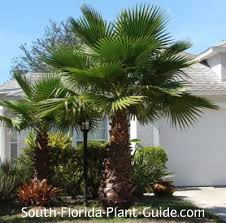 mexican fan palm growth rate washingtonia palm