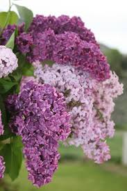 Lilac Flower by 407 Best Aromatic Lilacs Images On Pinterest Flowers Lilac