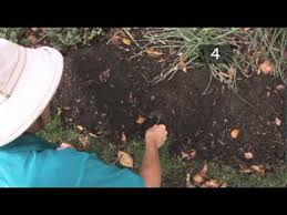 how to plant daffodil bulbs youtube