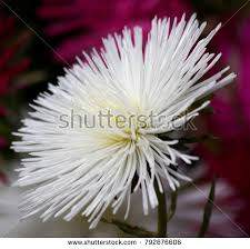 aster stock images royalty free images u0026 vectors shutterstock