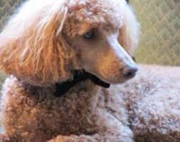 poodles long hair in winter brushing and drying a poodle the correct way