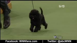 affenpinscher at westminster banana joe winner of westminster kennel club dog show youtube
