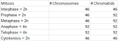 How Many Chromosomes Does A Somatic Cell Have What Will Be The Chromosome Number In Humans During Different