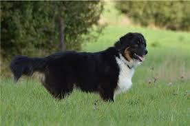 australian shepherd 1 jahr alt troublemaker australian shepherds