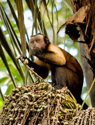 tufted capuchin wikipedia