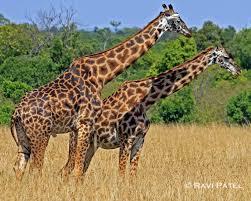 giraffes lessons tes teach