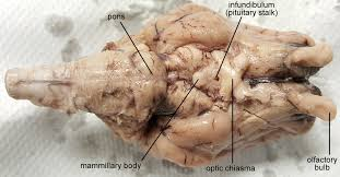 sheep brain dissection anatomy corner